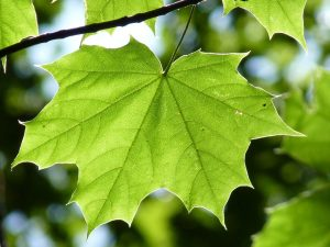 maple-leaf-888807_960_720